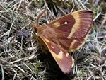 Oak Eggar (Lasiocampa quercus)